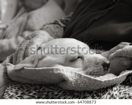 Pet therapy series. Sleeping puppy visitor in a rest home. Black and white image - stock photo