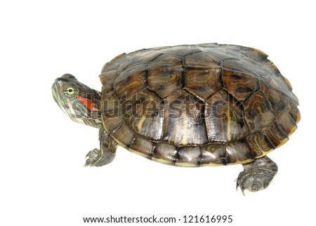 pet turtle red-eared slider(Trachemys scripta elegans) isolated on white background - stock photo