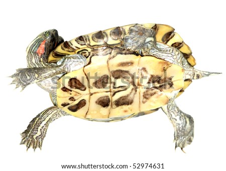 pet turtle red-eared slider(Trachemys scripta elegans) isolated on white background - stock photo