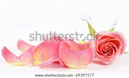 Petals and flower of  pink  on white background - stock photo