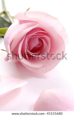 Petals and pink rose - stock photo