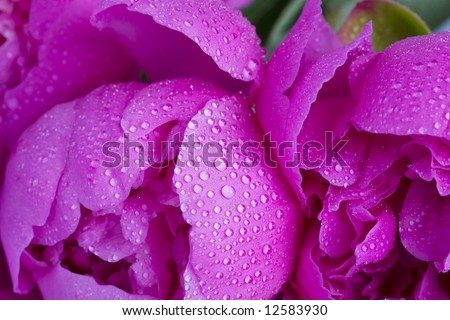 Petals of a peony in drops close-up - stock photo