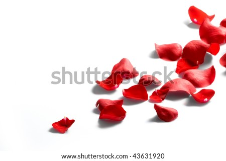 Petals of a rose, on a white background. - stock photo