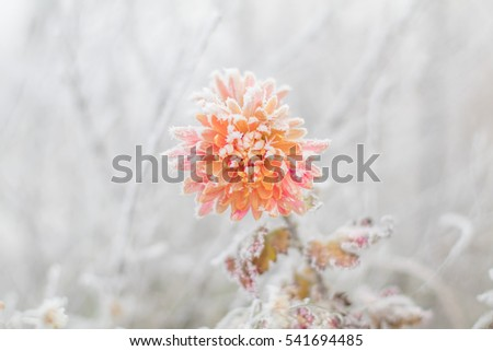 Petals of beautiful frozen pink flower astra covered with frost. Floral vintage winter landscape background. Valentines Day concept. Life Persists. Inspirational and conceptual image