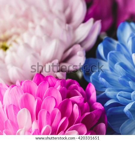 Petals of blue, pink and white chrysanthemums