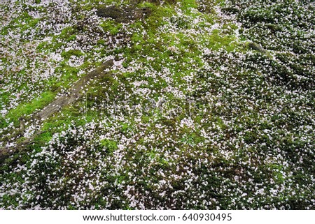 Petals of Cherry Trees on Moss Background