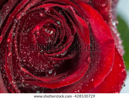 petals of red rose and drops