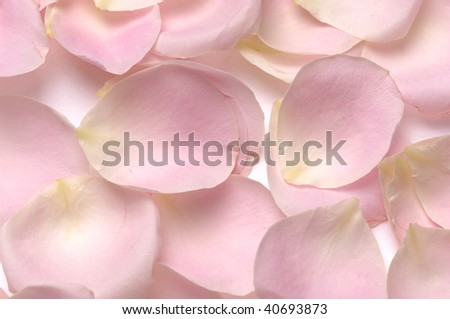 petals of rose background