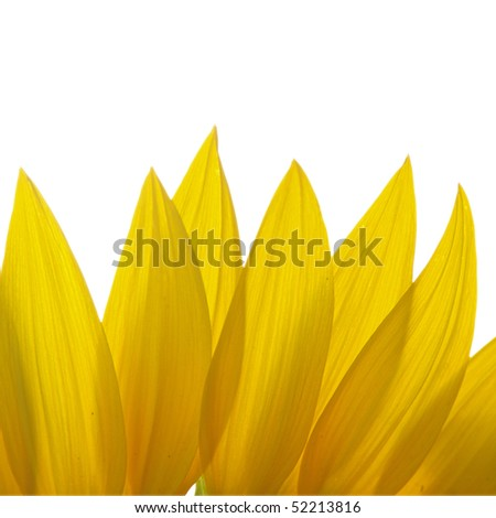 Petals of Sunflower isolated on white background - stock photo