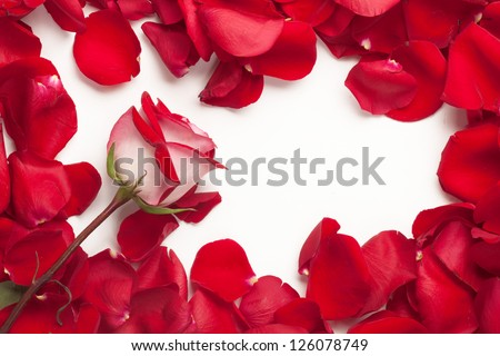 Petals rose - stock photo