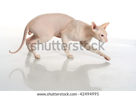 Peterbald hairless cat isolated on white background - stock photo
