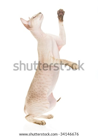 Peterbald hairless cat spotted tabby, on white background - stock photo