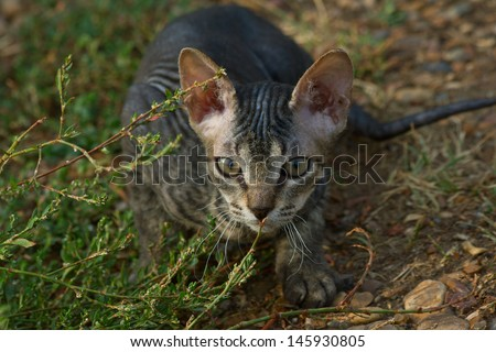 Peterbold sphinx cat in the garden  - stock photo