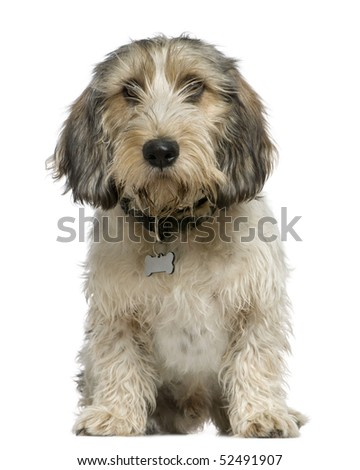 Petit Basset Griffon Vend?�©en, 7 months old, sitting in front of white background