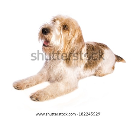 petit basset griffon vendeen dog lying down with mouth open panting isolated on white - stock photo