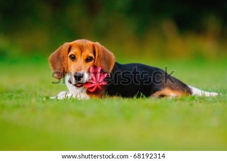 petite happy beagle puppy dog plays with a ball - stock photo