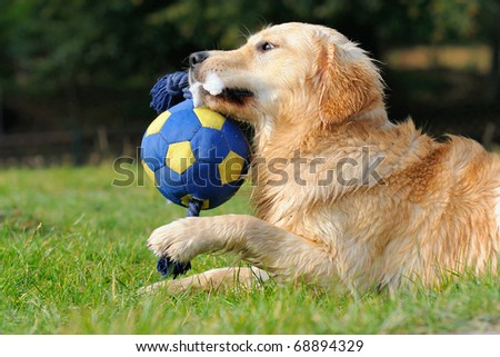 petite young Golden Retriever plays with ball - stock photo