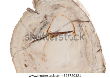 petrified wood mineral fossil sample cross section showing tree rings - stock photo