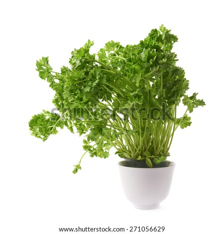 Petroselinum crispum apiaceae garden parsley plant in a white ceramic pot, composition isolated over the white background - stock photo