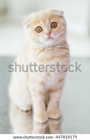pets, animals and cats concept - close up of scottish fold kitten - stock photo