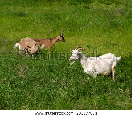 pets goats grazed on a meadow on green grass - stock photo