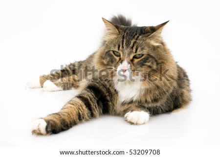 Pets - Studio shot of norwegian cat bored. - stock photo
