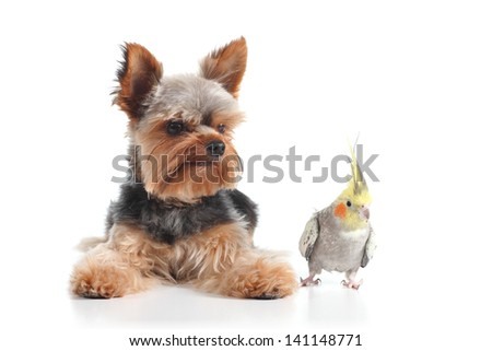 Pets yorkshire terrier puppy and cockatiel bird posing together isolated on a white background - stock photo