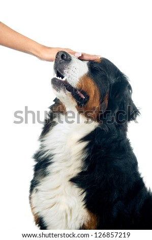 Petting the bernese mountain dog. Isolated on white background.