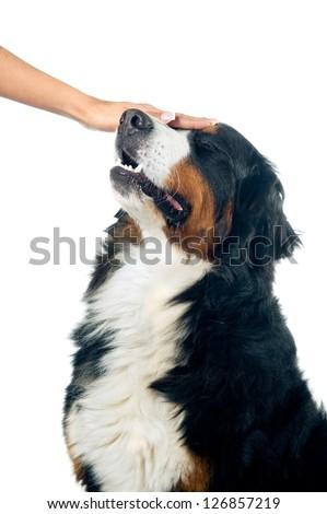 Petting the bernese mountain dog. Isolated on white background. - stock photo