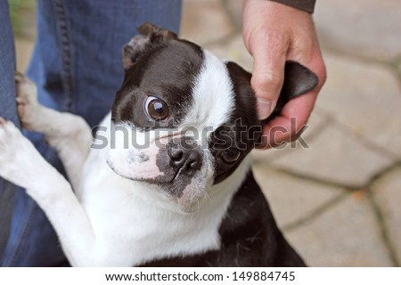 Petting the Boston Terrier