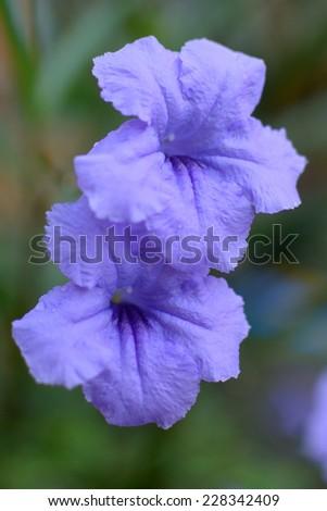 Petunia Flower - stock photo