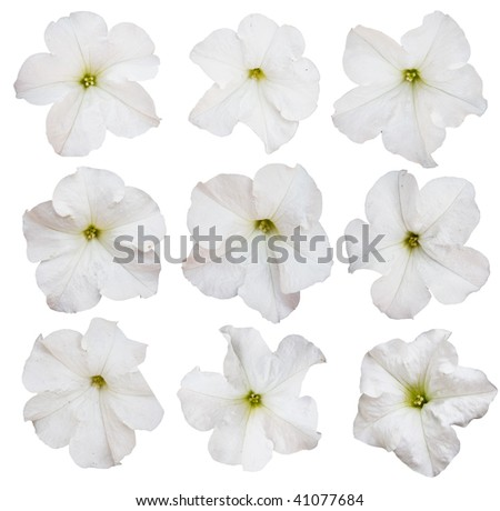 petunia flowers  collection  isolated over white background - stock photo