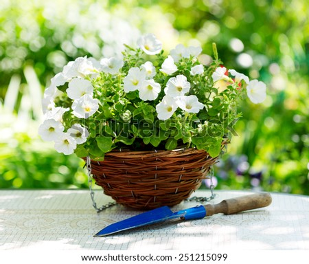 petunia flowers in a garden - stock photo