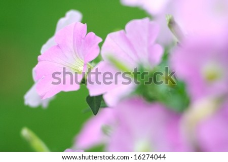Petunia Garden side shot - stock photo