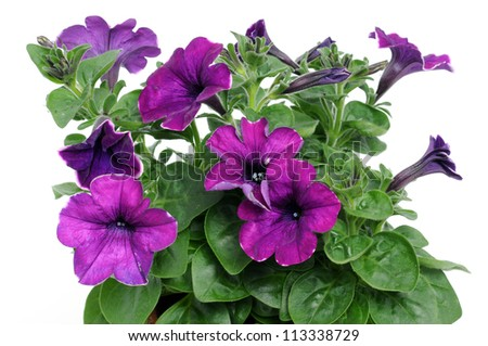 Petunia is a trumpet shaped, widely-cultivated genus of flowering plants of South American origin - stock photo