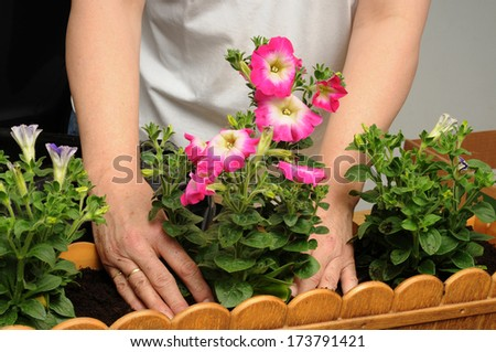 Petunia is a trumpet shaped, widely-cultivated genus of flowering plants of South American origin, in the family Solanaceae.
