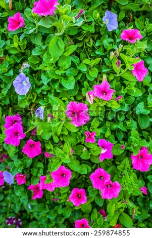 Petunia is genus of 35 species of flowering plants South American origin, closely related to tobacco, cape gooseberries, tomatoes, deadly nightshades, potatoes and chili peppers; in family Solanaceae - stock photo