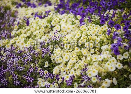 Petunia - perennial herb of the family Solanaceae - stock photo