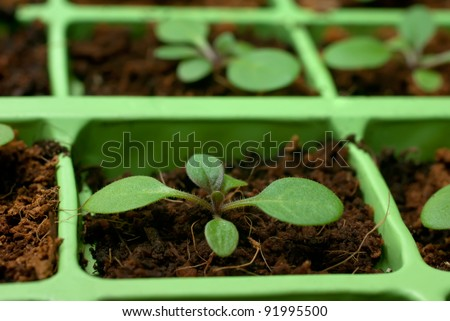 Petunia seedlings in coco in the cell tray (shallow depth of field, macro) - stock photo