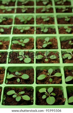 Petunia seedlings in the cell tray (selective focus) - stock photo