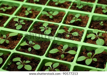 Petunia seedlings in the cell tray (selective focus, copy space) - stock photo
