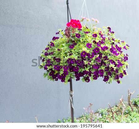 Petunias in hanging basket - stock photo