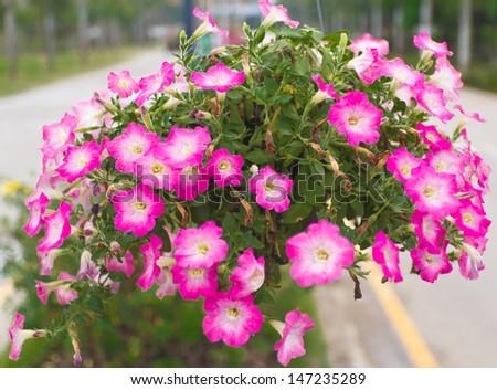 Petunias in hanging pots.( Petunia hybrida Vilm.) - stock photo