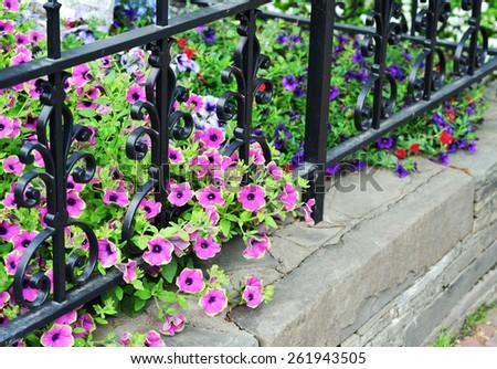 Petunias, iron fence and stone wall - stock photo