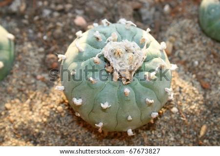 Peyote cactus. - stock photo