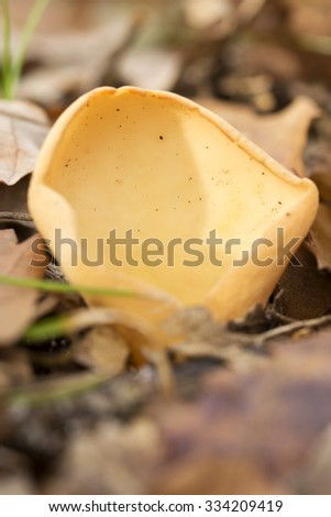 Peziza mushroom ,macro (selective focus) - stock photo