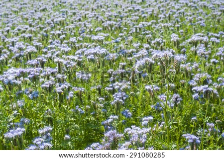 Phacelia agricultural field flowering at summer