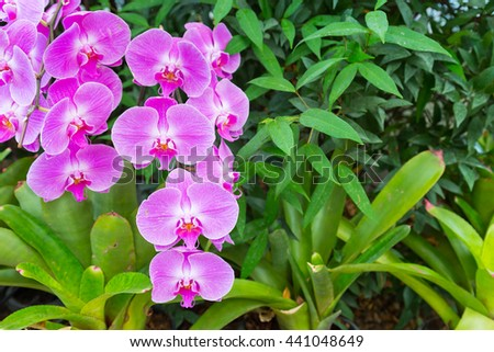 Phalaenopsis are blooming in the flora garden, one kind of orchid that is very beautiful and colorful flowers. - stock photo