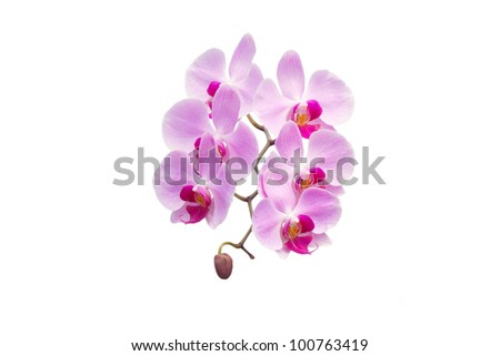 Phalaenopsis  isolated on white background