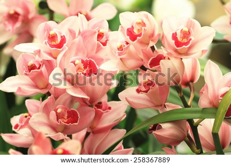 Phalaenopsis,Moth Orchid flowers,beautiful pink with red flowers in full bloom in the garden in spring  - stock photo